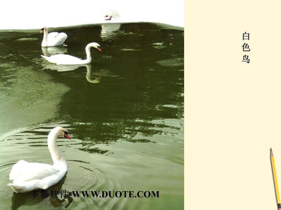 《白色鸟》PPT课件下载