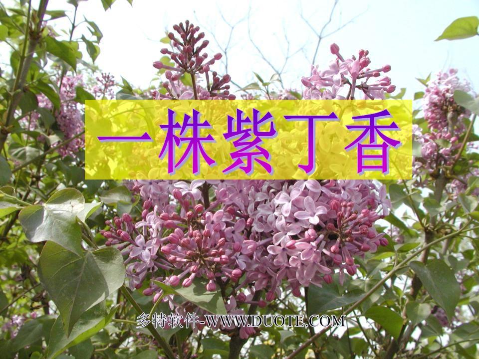 《一株紫丁香》PPT课件2下载