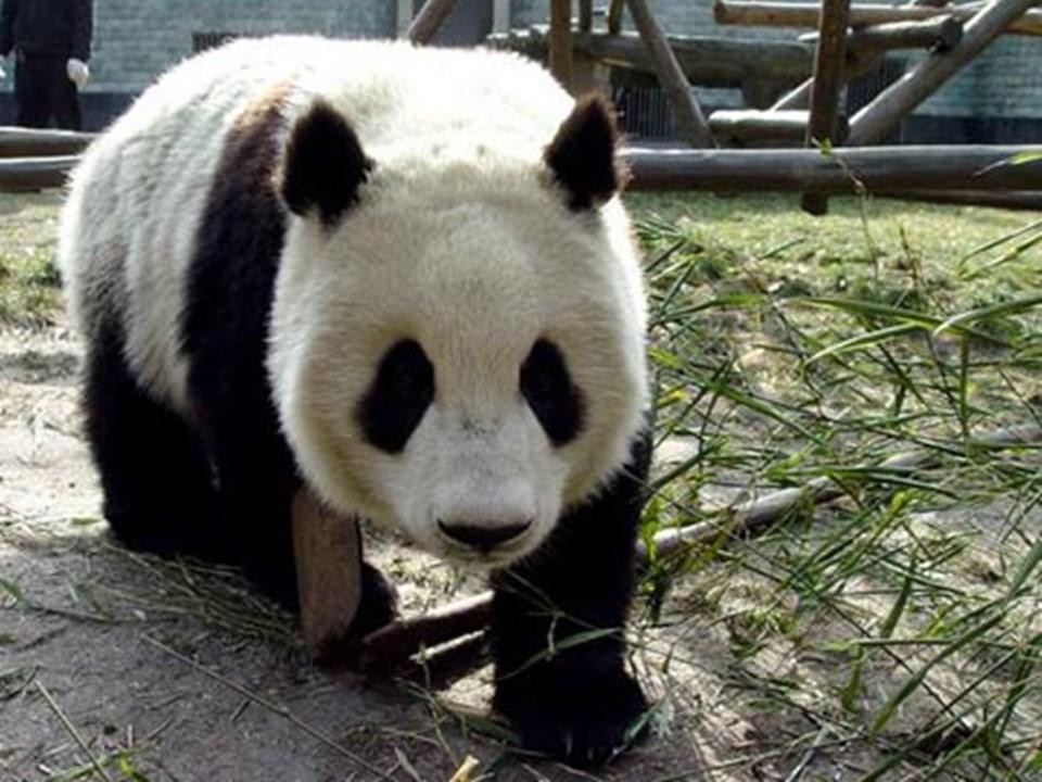 《可爱的大熊猫》PPT课件2下载
