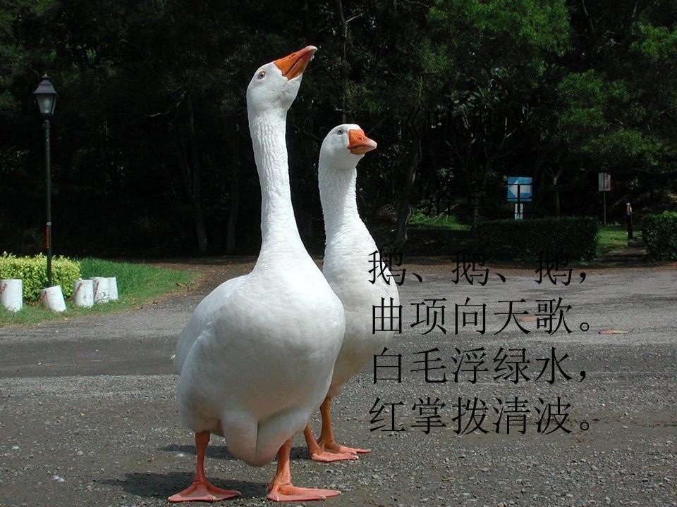 《白鹅》PPT课件下载4下载