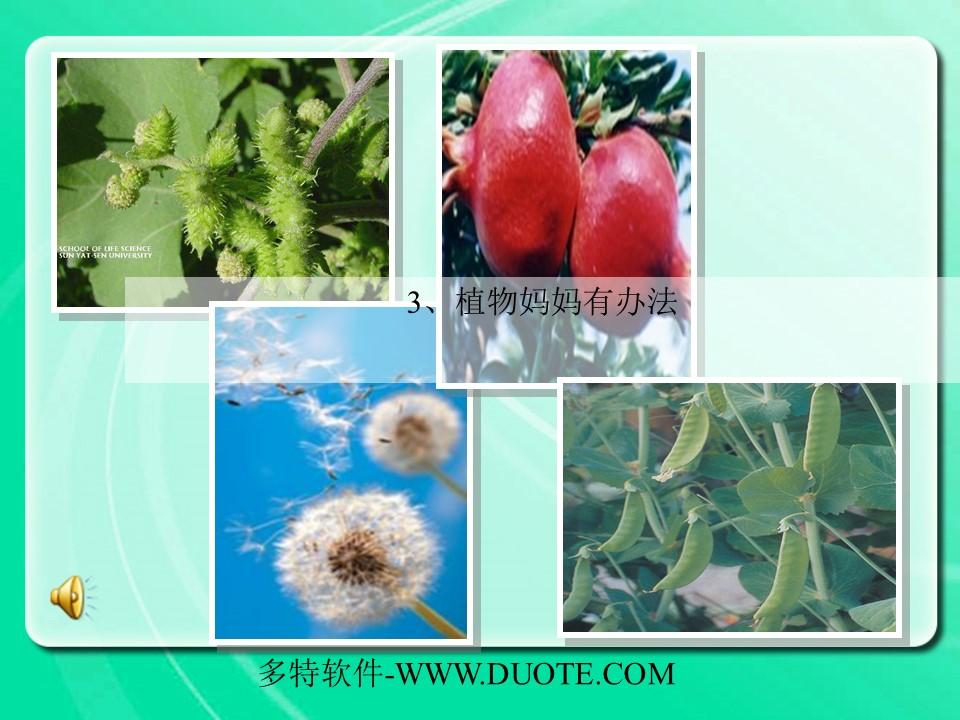 《植物妈妈有办法》PPT教学课件下载3下载